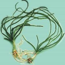 Crinum Calamistratum Live Aquarium Plants Easy Aquatic Plants  ✅