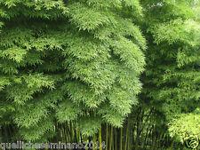"20 semi di Phyllostachys PUBESCENS = moso bamboo, Bambos moosoo ""Bambù gigante"""