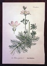 Chromolithograph Book Plate #476 - Botanical - Water Violet - Thome c. 1905
