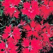 Dianthus- Superbus- Red- 100  Seeds- BOGO 50% off SALE