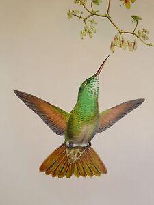 John Gould Native humming Bird print tree painting art Vintage Old Australia