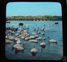 Glass Magic Lantern Slide SWANS ON A LAKE C1900 BIRDS L39 SWAN