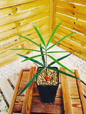 Cycas changjiangensis plantule/seedling, rare species! Encephalartos, cycad