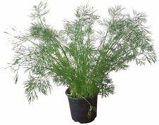 Dill im Topf - frische Dill-Pflanze im großen 12cm-Topf - Dill-Kräuterpflanze
