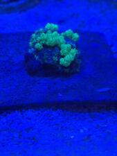 New listing Blue toxic bounce muahroom frag Wyswyg.