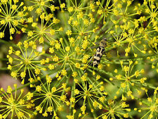 2500 BOUQUET DILL Anethum Graveolens Herb Seeds + Gift