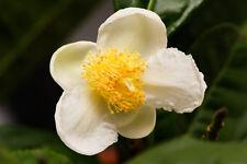 4 graines de THEIER (Camellia Sinensis)G549 TEA PLANT SEEDS SAMEN SEMILLAS SEMI