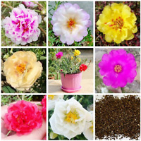 100 Pcs Seeds Portulaca Flowers Bonsai Garden Grandiflora Plants Potted NEW 2018