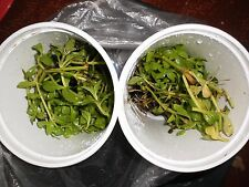 Rice paddy/ngo ohm herb plants 44 OZ cups.bare roots, Buy one get one for good