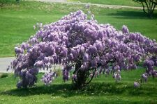 Chinese Blue Wisteria Tree - Flowering Live Healthy - 2 Bare Root Plants