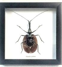 REAL VIOLIN BEETLE, MORMOLYCE PHYLLODES,TAXIDERMY IN BLACK SHADOWBOX FRAME