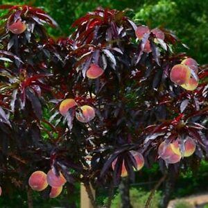 Hardy Crimson Bonfire Red leaf Patio Peach Dwarf Fruit Tree 70-100cm tall
