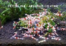 Aquarium Creation Bred - 5 + 1 Healthy Crystal Red Shrimp