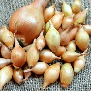 Overwintering Onion Sets, Senshyu / Red Karmen