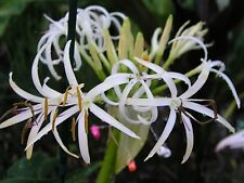 Crinum Lily, Asiaticum Aurea Maculate, jumbo, blooming-size bulb - NEW