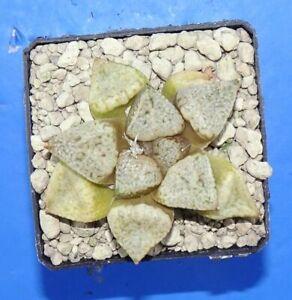 2858   Haworthia picta cv. PANDORA MAGICBOX, phyto available