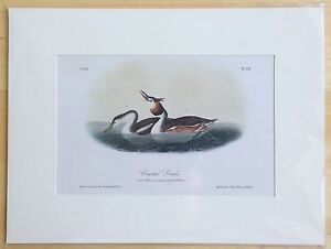 "Antique Audubon ""Birds of America"" Lithograph Print 1850-1870 - CRESTED GREBE"