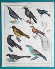 BIRDS Starling Weaver Butcherbird Paradise Roller - 1843 HC Color Print