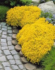 100 Pcs- Sedum Acre Perennial Groundcover  Seeds - Goldmoss Stonecrop-S089