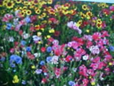 PERENNIAL 25-VARIEY WILD FLOWER SEEDS MIX  buy 1+1 free