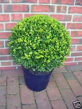 2 x Buchsbaum Kugel, Durchmesser: 35-40 cm, Buxus Kugel + Dünger
