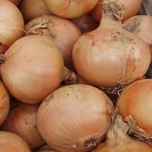 Onion - F1 Santero - 100 Seeds