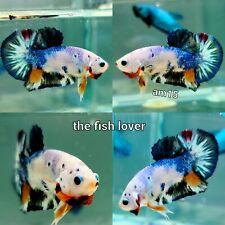 Am15 - Imported Live Betta Fish Male Halfmoon Plakat Koi Fancy USA SELLER