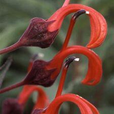 Flower - Lobelia Tupa - 500 Seeds - Large