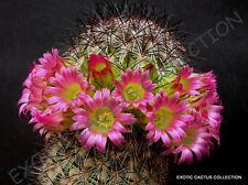 Mammillaria Microhelia , exotic rare cactus cacti plant seeds - 20 Seeds