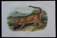 1851 Original Audubon Cougar Mountain Lion Male 1st Ed Octavo Quadruped Pl 96