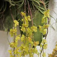 Chiloschista parishii miniature fragrant orchid species BLOOM SIZE + CERTIFICAT