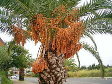 PHOENIX CANARIENSIS 10 semi seeds Palma delle Canarie Canary Palm