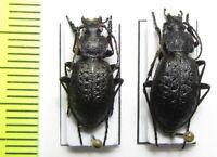 Carabidae, Carabus (Diocarabus) loschnikovi, pair, Russia, Siberia