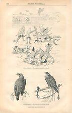 Fauconnerie Chasse au Faucon Japon Dessin Philipp Franz von Siebold GRAVURE 1866