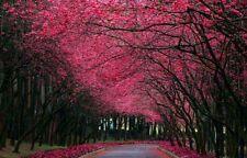 10 Pcs Rare Beautiful Japanese Sakura Flower  seeds  Cherry Blossoms Tree seeds