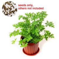 100Pcs Citronella Plant Seeds Mozzie Buster Mosquito Repellent Garden Decor Hot