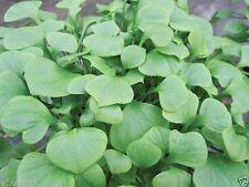 Miner's Lettuce~1,000 Seeds ,Claytonia Perfoliata, Cold-hardy salad green !