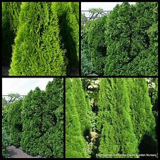 8 Emerald Pyramids Smaragd Conifer Plants Hedge Cypress Thuja occidentalis Tree