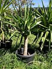 Yakkas Yukka Yuccas plants in pots potted. Various sizes available, up to 190 cm