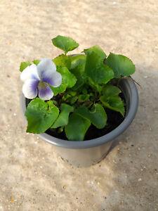 Viola verecunda  -  Rare Japanese Sweet Violet Plant in 9cm Pot