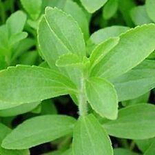 STEVIA Rebaudiana SWEETLEAF Sugar Herb Flower Seeds $ (20 Nos) V-093 x2