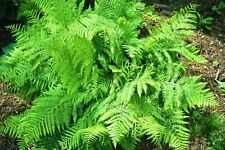 Athyrium filix-femina - Lady Fern - This listing is for 18 Root's Only