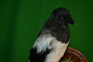 Taxidermy of birds and animals stuffed magpie Handmade August 2021