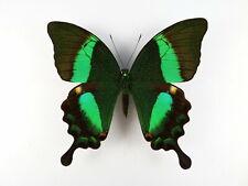 Papilio daedalus ssp. daedalus Weibchen