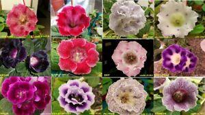 "50+ Gloxinia Sinningia Seeds, "" 12 Various colors"" ( Your choice 1-5 codes)"