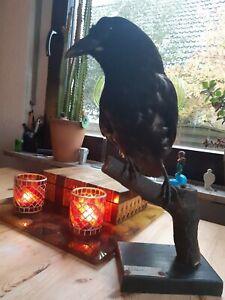 Krähe Crow Rabenkrähe Gothik Fantasy, Präparat wunderschönes Exemplar