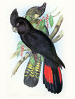 "Vintage John Gould Bird Art CANVAS PRINT~RED TAIL BLACK COCKATOO poster 8""X 12"""