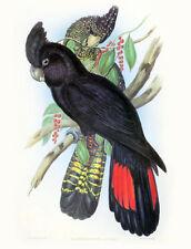 "Vintage John Gould Bird Art CANVAS PRINT~RED TAIL BLACK COCKATOO poster 8""X 12"""
