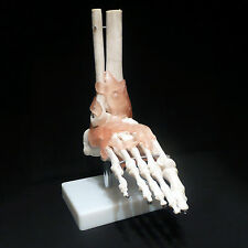 Life Size Foot Joint with Ligaments Anatomical Skeleton Model - Medical Anatomy