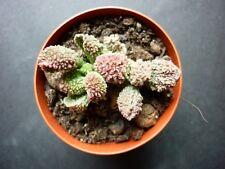 CHEAP Adromischus marianae (marianiae) herrei PINK pullings-ULTRA RARE succulent